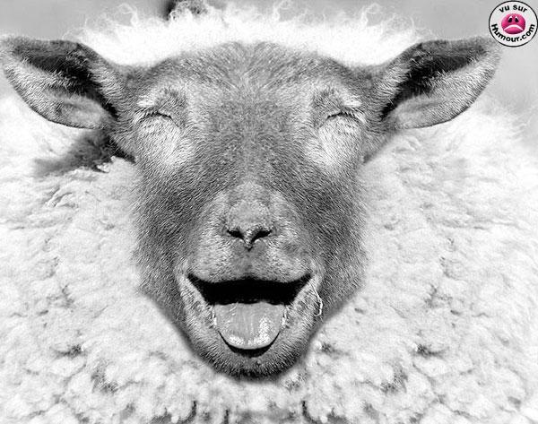 drole-de-mouton